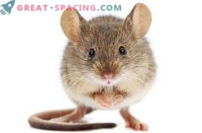 Ruumis olevad hiired saavad kahenädalase maksakahjustuse